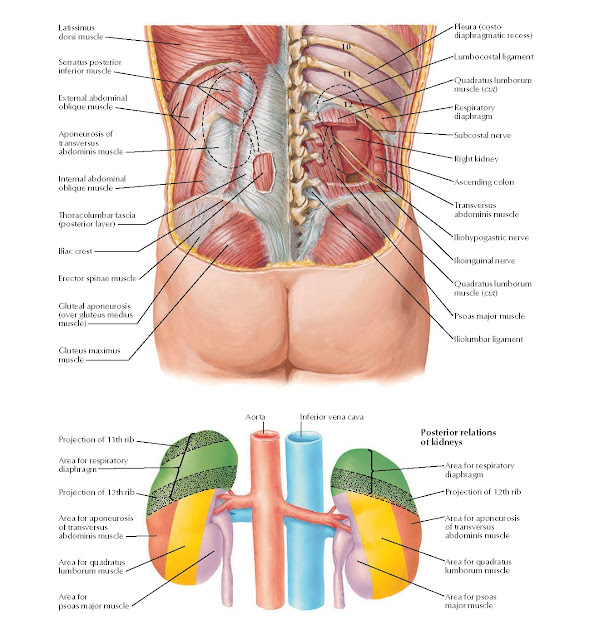 Kidneys in Situ: Posterior Views Anatomy