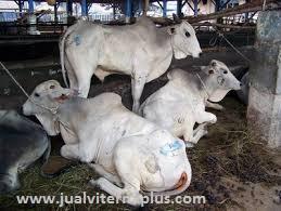 mempercepat petumbuhan sapi, meningkatkan kesehatan sapi