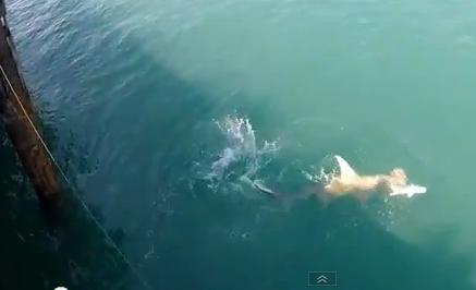 World Sharks News : AUSTRALIA: hammerhead shark attacks a ...