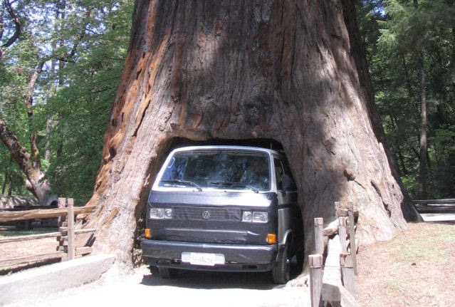 Car Wax Near Me >> Trees of Santa Cruz County: Sequoiadendron giganteum - Giant Redwood