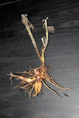 Yacon tubers, Yacon rhizomes, Perennial Yacon Australia, Permaculture Yacon