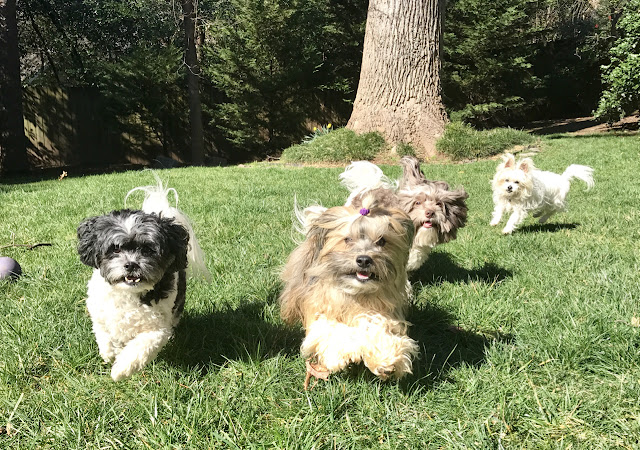 Dogs running in backyard Rocco Havanese