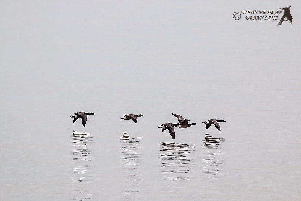 Brent Geese in flight - Reculver, Kent