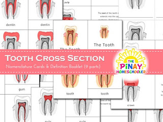 Tooth Cross Section Learning Pack