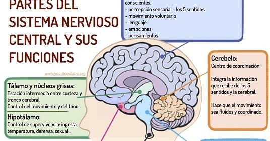 PSICOLOGOS PERU: SISTEMA NERVIOSO Y SUS FUNCIONES