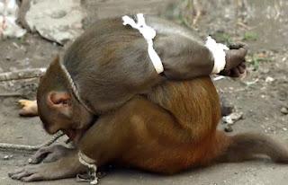 Scimmia ladra esposta alla pubblica umiliazione in India