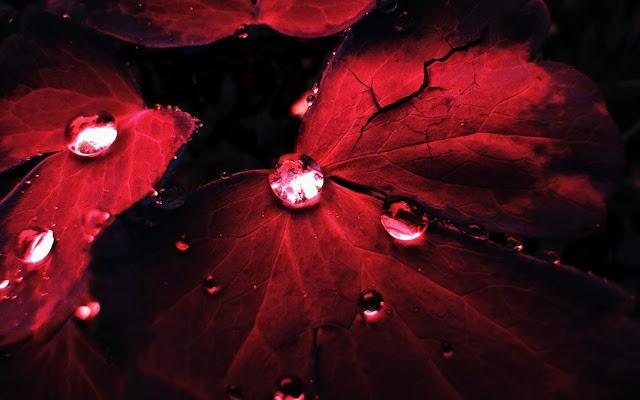 Donkere rode herfst bladeren met water