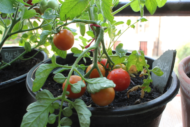 Bush tomatoes container grown
