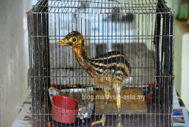Cassowary baby bird