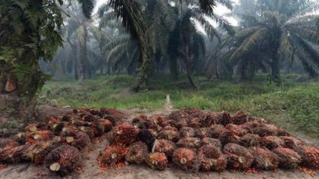 Kelapa sawit di area perkebunan di Pelalawan, Riau.