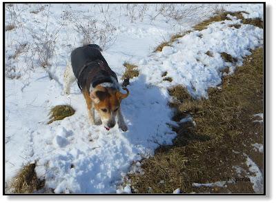 Beagle mit Fliegeohren