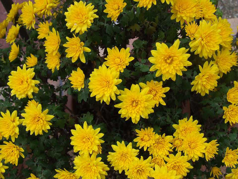 15 Tanaman Hias Bunga Kuning Jasa Tukang Taman Surabaya