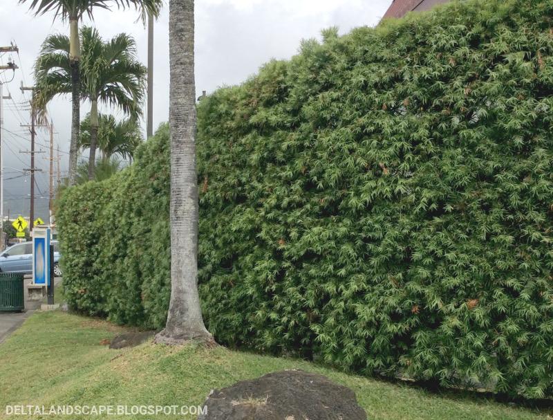 A Changing Landscape Podocarpus Forms