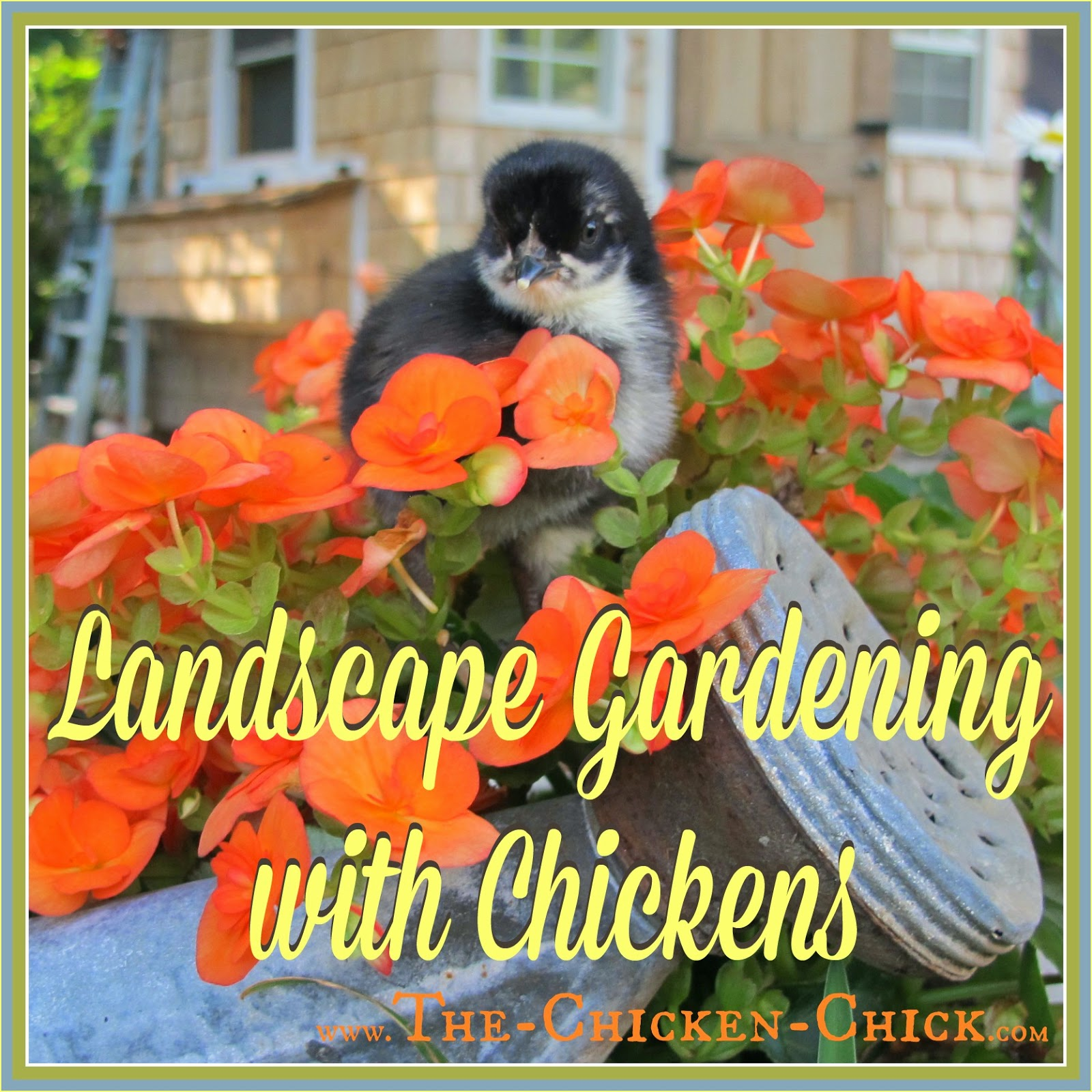 Contrary to popular belief, it is possible to have flowers and plants adorning the chicken yard. I offer the following examples of gardening methods that have worked for me, but all are subject to being disproved by any given chicken at any time.