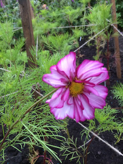 Flowering cosmos fizzy