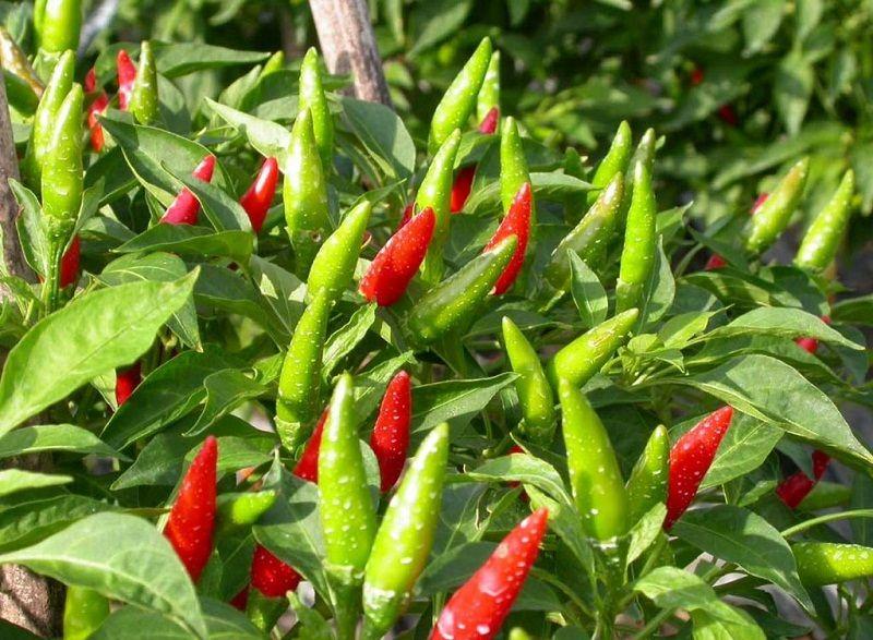 Những điều thú vị về quả ớt bạn cần biết