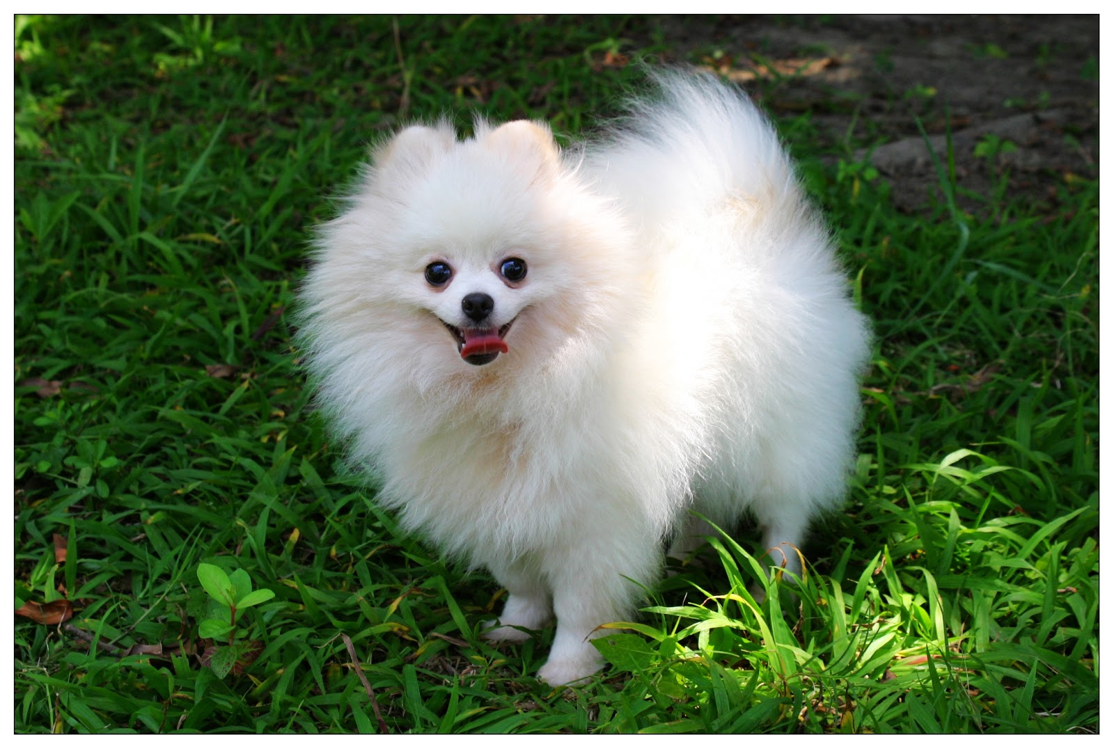 Cute Pomeranian puppy 4 1/2 months old boy. | Staines ... |Pom Puppies