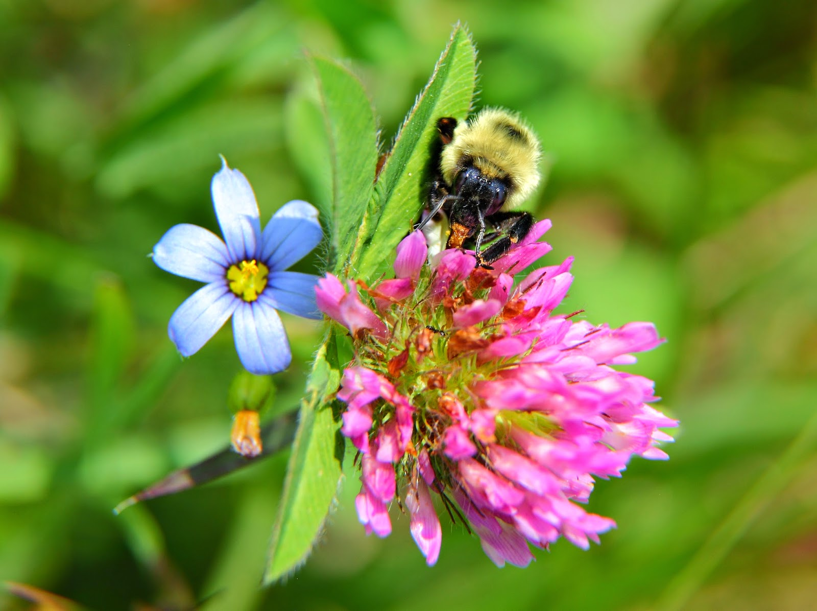A large bumble bee gathering the abundant nectar from a summer clover flower. In the background a small blue field flower brightens the aspect of this picture. Picture Height: 2770 pixels | Picture Width: 3706 pixels | Lens Aperture: f/8 | Image Exposure Time: 1/180 sec | Lens Focal Length mm: 105 mm | Photo Exposure Value: 0 EV | Camera Model: Canon EOS 5D Mark II | Photo White Balance: 0 | Color Space: sRGB | ForestWander Nature Photography: ForestWander Nature Photography | ForestWander: ForestWander.com | Key Terms: abundant, Bumble Bee, clover, field flower, Flower, nectar, summer,