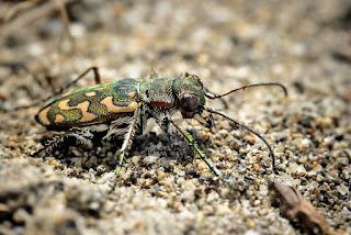 para ampliar Lophyra flexuosa (Fabricius, 1787) Escarabajo tigre hacer clic