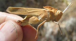 Tomonotus ferruginosus, Oak-leaf Grasshopper