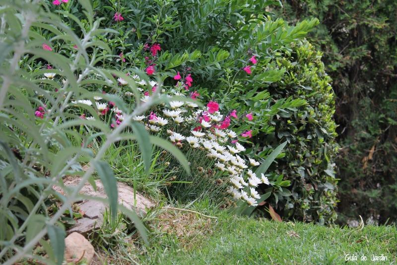 Margaritas y salvia microphylla