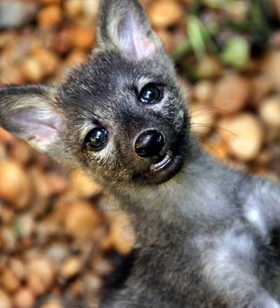 Filhote de lobo-guará - Sorriso na Web