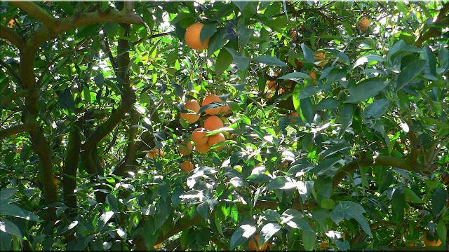 gambar pohon aprium
