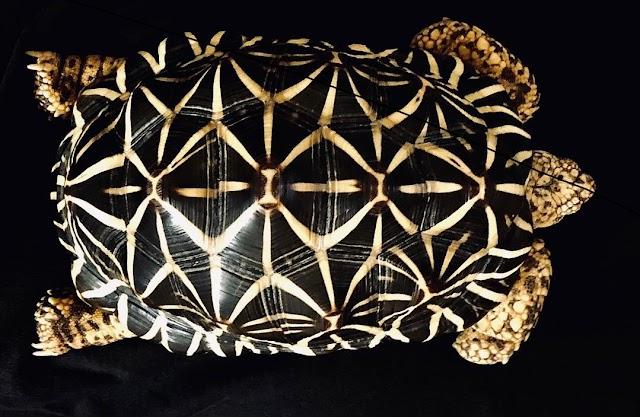 Chăm sóc rùa Sao Ấn