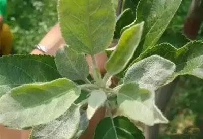 Powdery mildew on apple