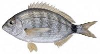 İspari İsparoz balığı
