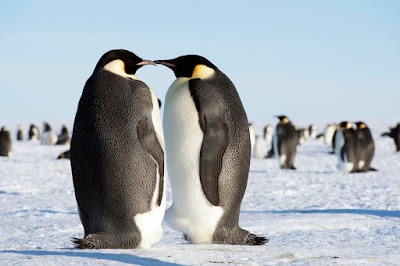 pair of emperor penguins