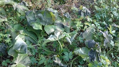 霜にあたったハヤトウリの葉