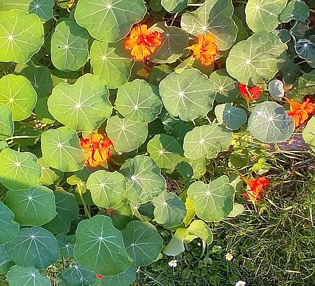 essbare Nutzpflanze