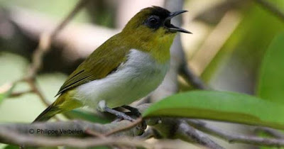 Burung Pleci Tanpa Kacamata