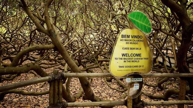pirangi-kaju-ağacının-kapladığı-alan