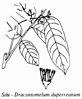 Hình vẽ CÂY SẤU - Dracontomelum duperreanum - Nguyên liệu làm thuốc Chữa Ho Hen