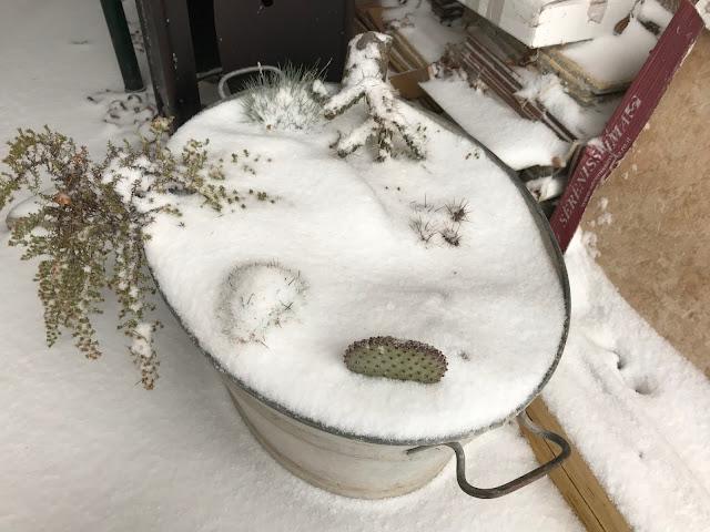 winterharte Sukkulenten im Schnee