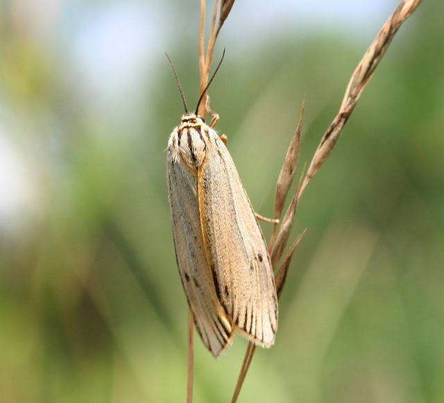 Gestreifter Grasbär, Coscinia striata