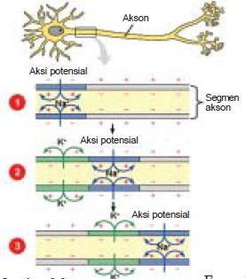 Proses Mekanisme Jalannya Penghantaran Impuls Melalui Sel Saraf dan Sinapsis pada Sistem Koordinasi Manusia