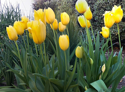 Different angle of the same yellow tulips