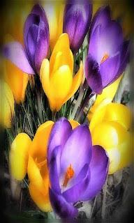 Flores moradas y amarillas fondos wallpaper para teléfono móvil resolución 480x800