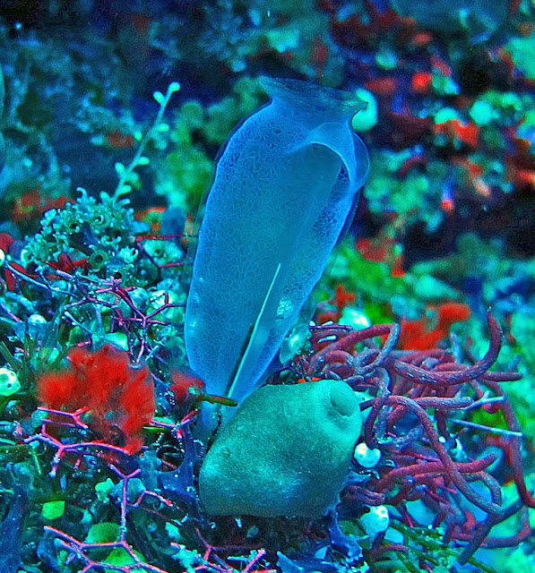 blue tunicate