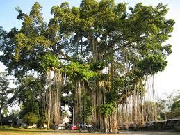 Deskripsi dan Klasifikasi Pohon Beringin
