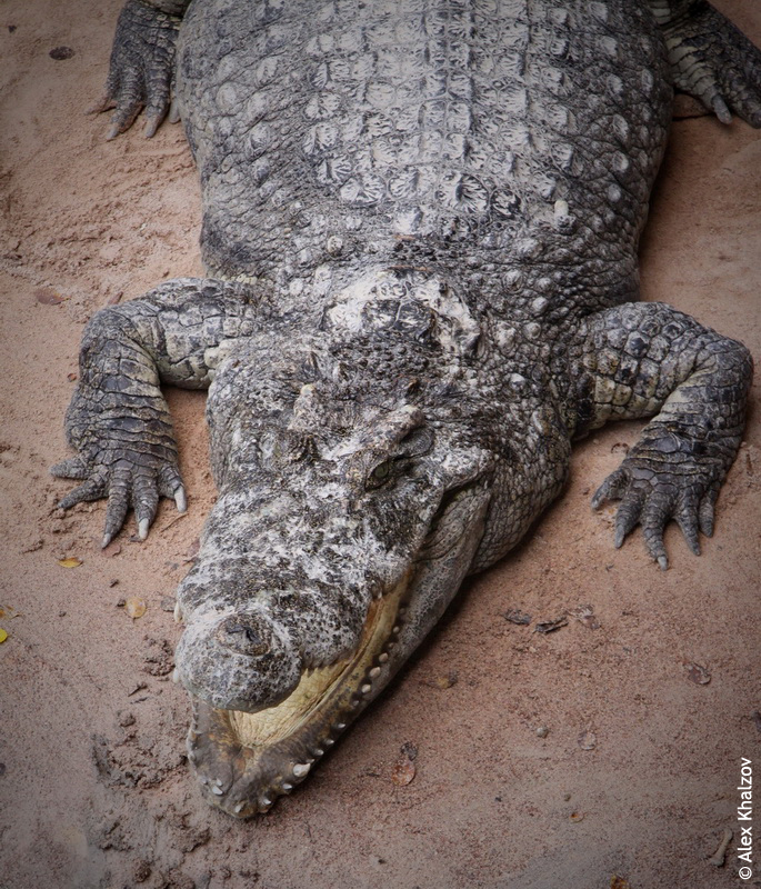 Крокодил на ферме