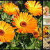 The Goodness Of Calendula Tea