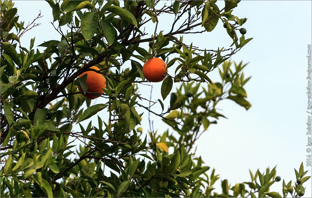 Фазелис Турция отель Marti Myra Turkey Phaselis апельсин