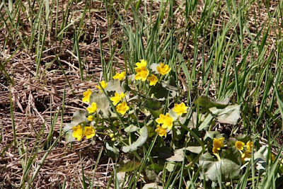 marsh marigolds in bloom