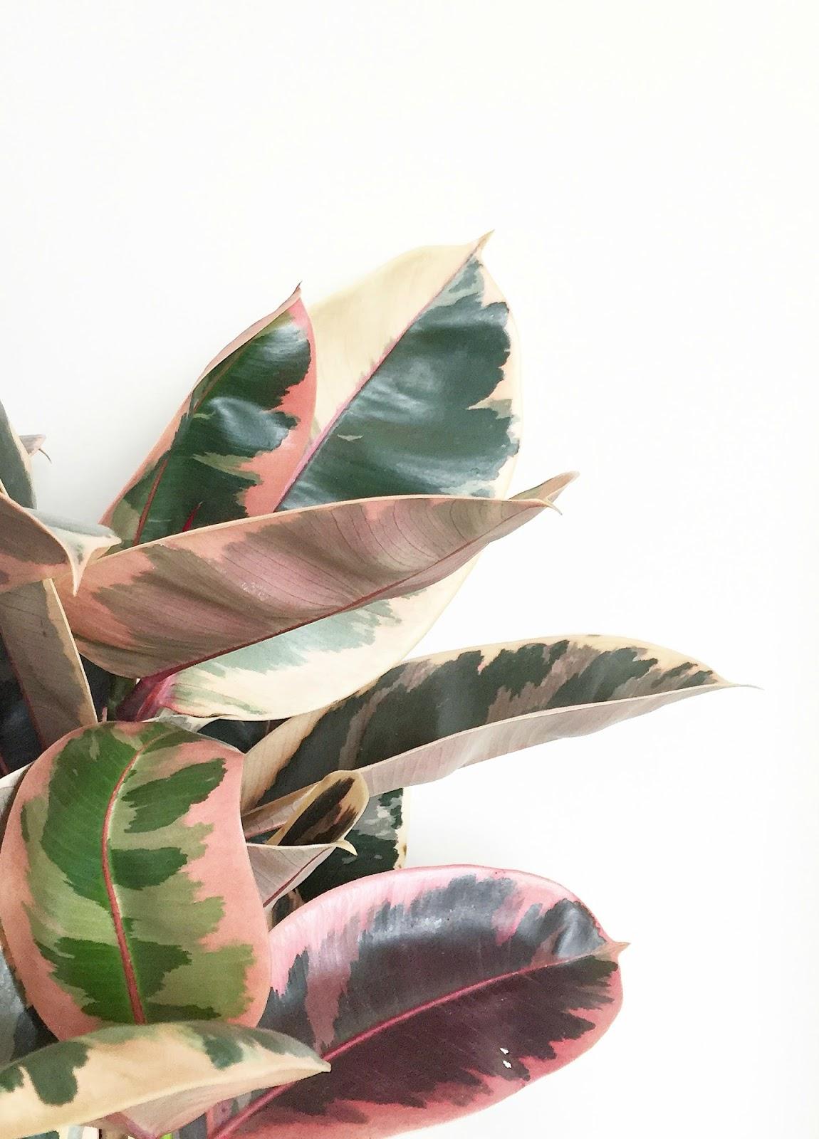 Thistle magnetic plaster DIY bedroom make over rubber plant, botanical, plants