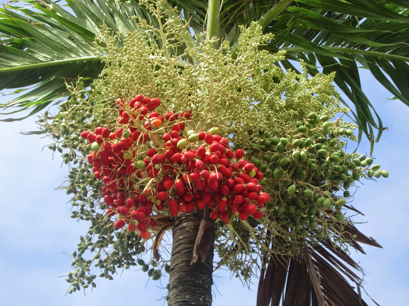 Garden Notes From Hawaii: MANILLA PALM (Veitchia Merrillii