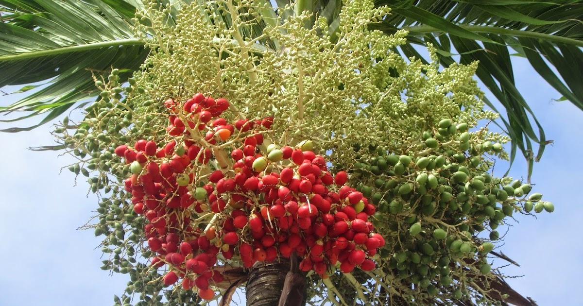 Adonidia Palm   Adonidia Merrillii   Palmco - Wholesale Palms, Florida